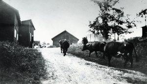 Bild ca 1940 taget nedifrån backen med kor på grönbete. Ladan i mitten låg framför brandstationens boningshus. Till höger hamnar senare Vårvägen och vår byggnad. Till vänster närmast ett hönshus.